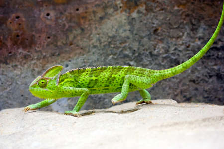 Veiled Chameleon  Chamaeleo calyptratus  walking on white sand  photo