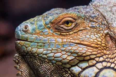 animales de la selva: Primer plano de un macho Iguana verde Iguana iguana.