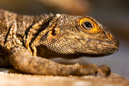 swift: Close-up portrait of Merrems Madagascar swift Oplurus cyclurus. Foto de archivo