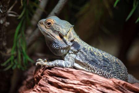 bearded dragon: close-up of a Central bearded dragon (Pogona vitticeps).
