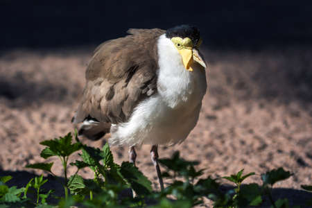 lapwing: Close-up of a Masked lapwing (Vanellus miles). Stock Photo