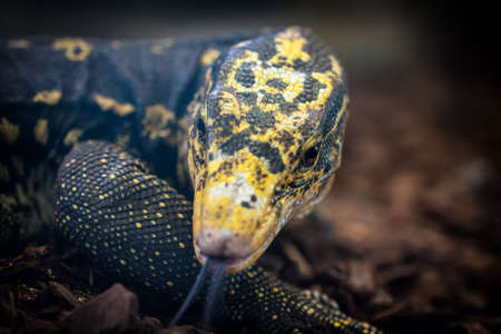 reptilian: Close-up of a Yellow-headed water monitor (Varanus cumingi).