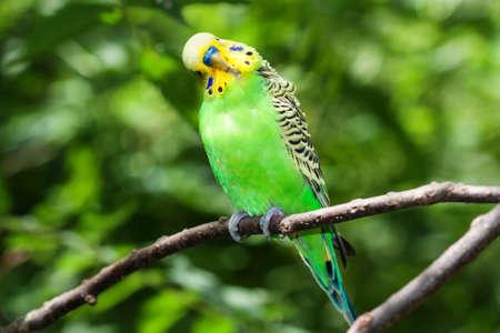 undulatus: Green Budgerigar (Melopsittacus undulatus) sitting on a branch.