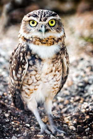 Closeup of a Burrowing Owl (Speotyto cunicularia) looking directly into the camera.