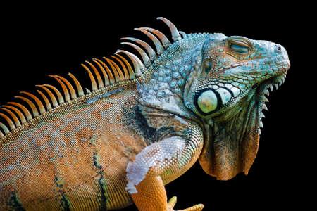 Sleeping dragon - Close-up portrait of a resting orange colored male Green iguana (Iguana iguana) isolated on black.