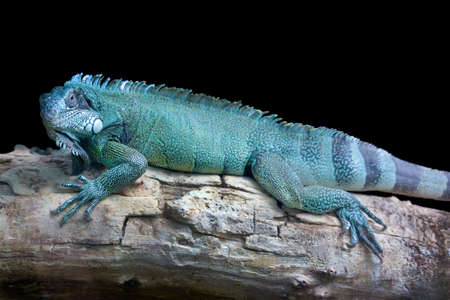 blue dragon: Blue dragon - Close-up portrait of a resting blue colored male Green iguana (Iguana iguana) isolated on black. Stock Photo