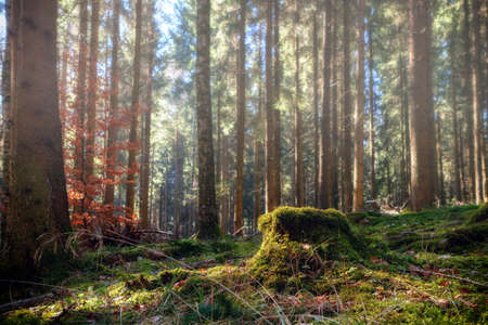 Summer pine forest landscape with green grass and moss. Photographed in Baden-Wurttemberg, Germany.  (harmony, relaxation - concept) Stock Photo