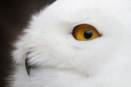 Close-up foto van een Sneeuwuil (Bubo scandiacus).