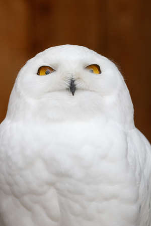 Closeup photo of a funny Snowy owl (Bubo scandiacus) looking directly into the camera.