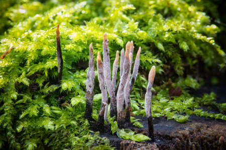 Close-up macro photo of Candlestick fungus (Xylaria hypoxylon) mushrooms on a mossy stump in the autumn forest.