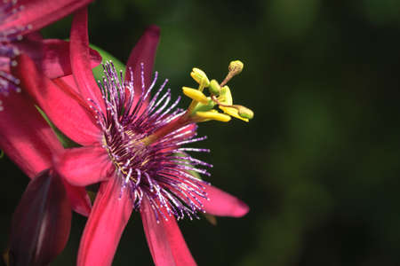 Close-up macro photo of a passion flower against blurred, dark natural background.