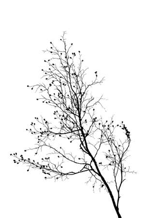Black and white silhouette of a beech tree branch.