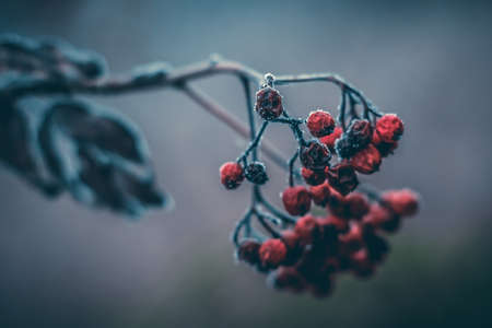 Conceptual close-up macro photo of frozen berries at cold winter morning with copy-space.