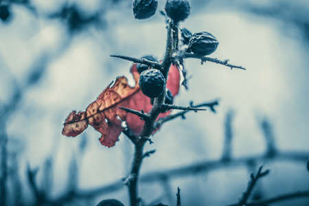 Conceptual close-up macro photo of frozen leaf and berries at cold winter morning with copy-space.