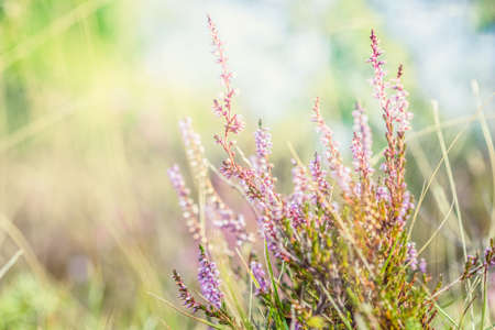 Summer meadow, green grass field with Common heather (Calluna vulgaris, ling) wildflower in warm sunlight, nature background concept, soft focus, warm pastel tones. Stockfoto