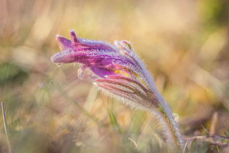 Close-up photo of pink Pasque flower (also called Pulsatilla) in morning sunlight.