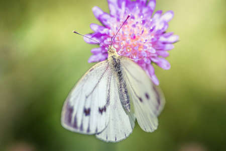 Close-up detailed photo of a white cabbage butterfly on a purple wildflower. Stockfoto