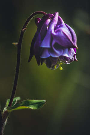 Close-up detailed photo of a purple Common columbine (Aquilegia vulgaris) wildflower. Soft focus, dark colors.