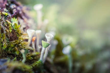 Close-up macro photo of small mushrooms and lich on a mossy stump in the forest.