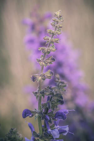 Close-up detailed photo of a purple Meadow sage (Salvia pratensis) wildflower. Soft focus, pastel colors, warm tones.