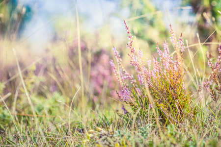 Summer meadow, green grass field with Common heather (Calluna vulgaris, ling) wildflower in warm sunlight, nature background concept, soft focus, warm pastel tones. 스톡 콘텐츠