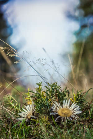 Close-up photo of Silver thistle (Carlina acaulis, Stemless carline thistle) in morning sunlight.