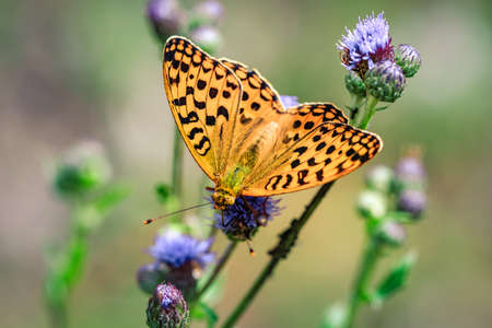 Close-up detailed photo of an orange colored butterfly on a purple wildflower. Stockfoto