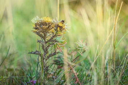 Summer meadow, green grass field with Carline thistle (Carlina vulgaris) wildflower in warm sunlight, nature background concept, soft focus, warm pastel tones.