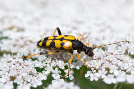 Close-up detailed photo of a yellow and black Spotted longhorn beetle (Rutpela maculata) on a white wildflower.