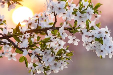haiku: Blossom of cherry tree