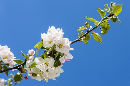 haiku: Apple tree in close-up, clear blue sky, space for text