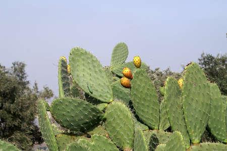 sabre's: Bush of sabra plant with fruits and Mantis