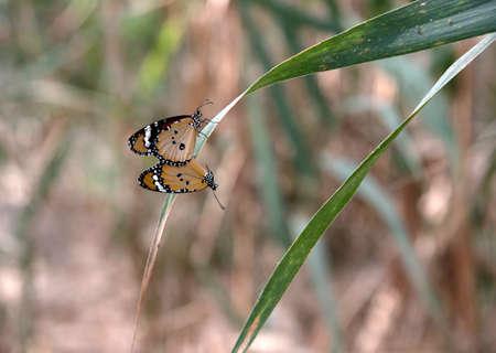 danaus: mating of danaus