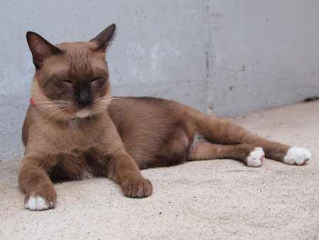 lay down: Cute brown cat lay down and close its eyes