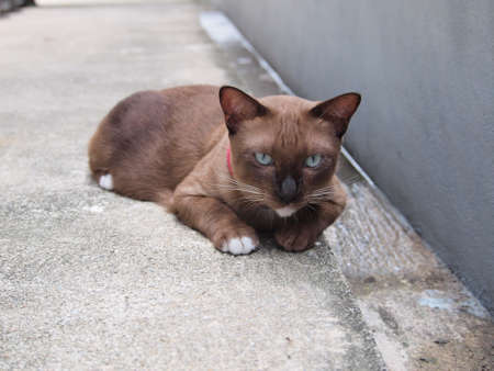 lay down: Cute brown cat lay down on the floor and staring to us