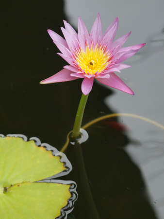 Close up of beautiful pink lotuswater lily in the pond with green leaves, Bua flower in Thai language.