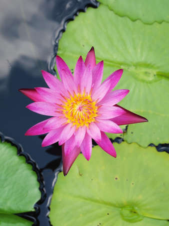 Beautiful pink lotuswater lily with green leaves in the pond Stock Photo