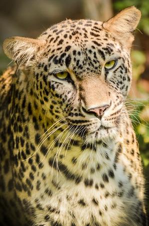 panthera pardus: Leopard - Panthera pardus