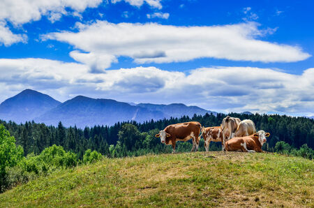 moutains: Cows resting in the Alpine Meadow