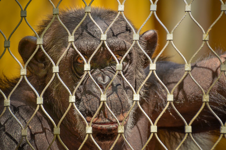 Chimpanzee is prisoner in a cage at the ZOO photo