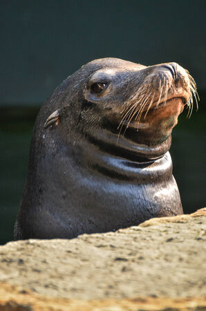 Sea Lion in a ZOO photo