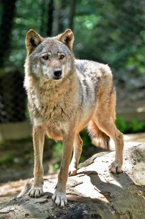 Gray wolf - Canis lupus standing on a log Standard-Bild