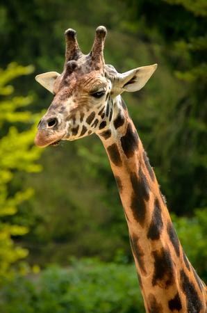 giraffa: Giraffe - Giraffa camelopardalis in nature Stock Photo
