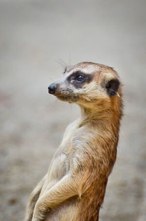 Meerkat is on the lookout photo