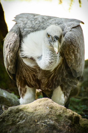 Griffon Vulture resting on a rock photo