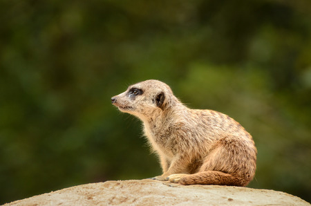 Meerkat or a suricate is on the lookout on a rock photo