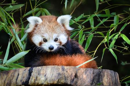 動物園におけるレッサー パンダ 写真素材 - 27231638