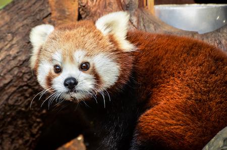 Red panda Imagens