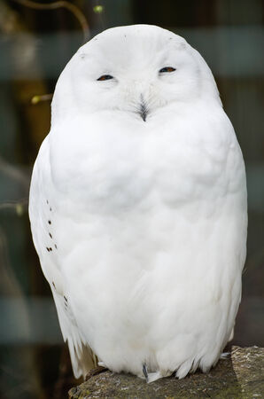 snowy owl: Snowy Owl is peacefully standing on a rock Stock Photo