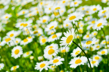 Meadow is full of many beautiful Dasies